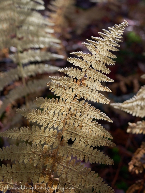 A frost-nipped wood fern