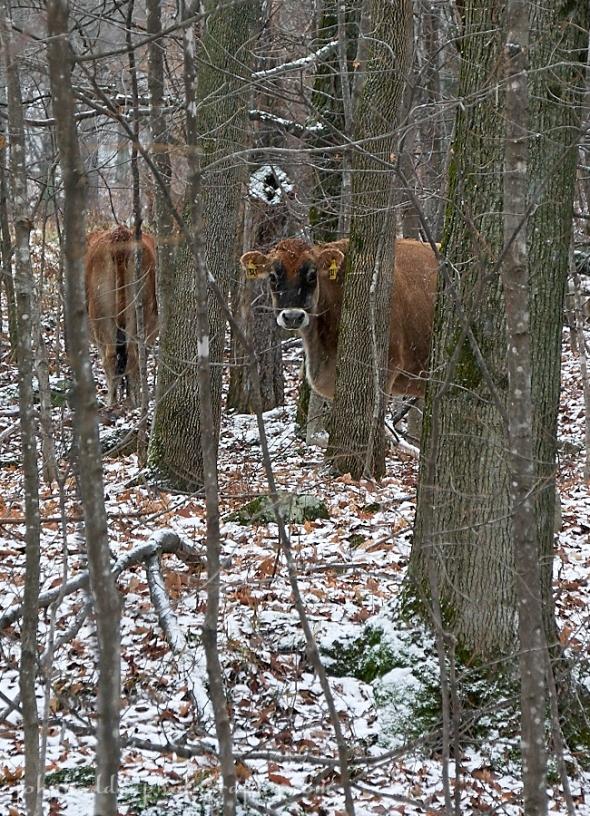 heifer-snow-trees