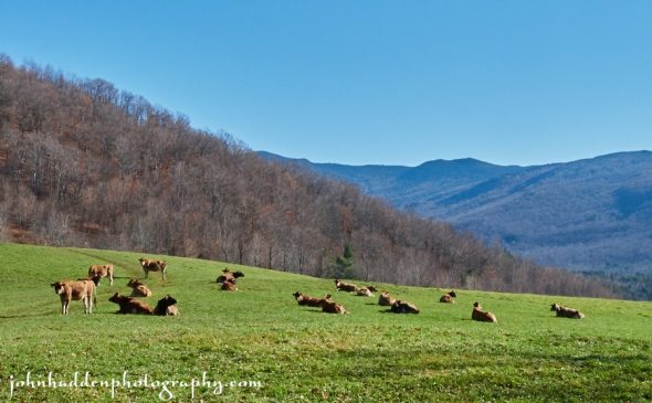Jersey heifers enjoy the mid-morning sunshine on Taft Hill yesterday