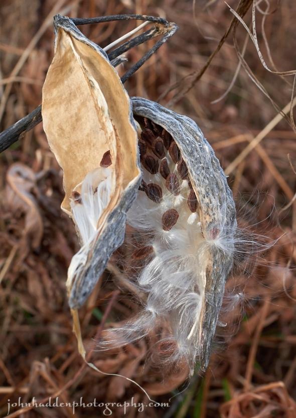 A milk weed pod spills its seeds