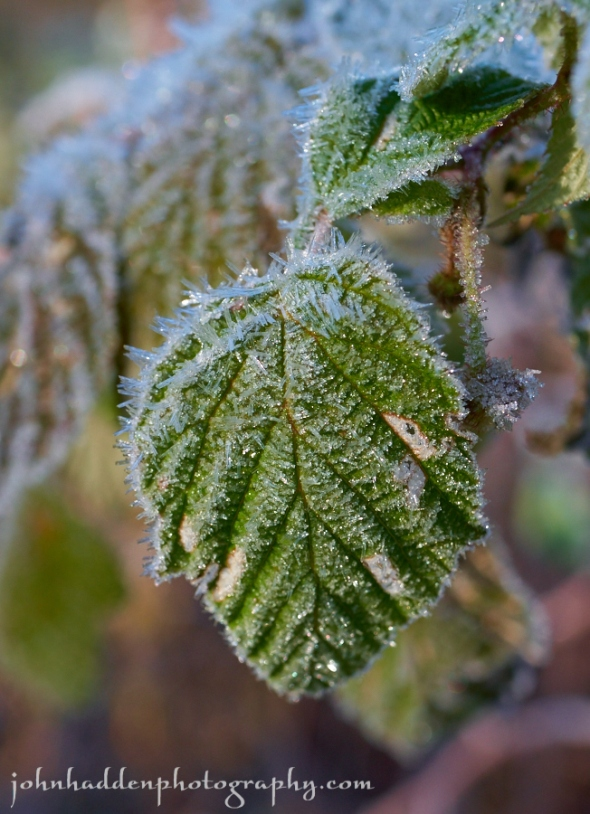 Frost crystals cling to wild a wild raspberry leaf by the pond