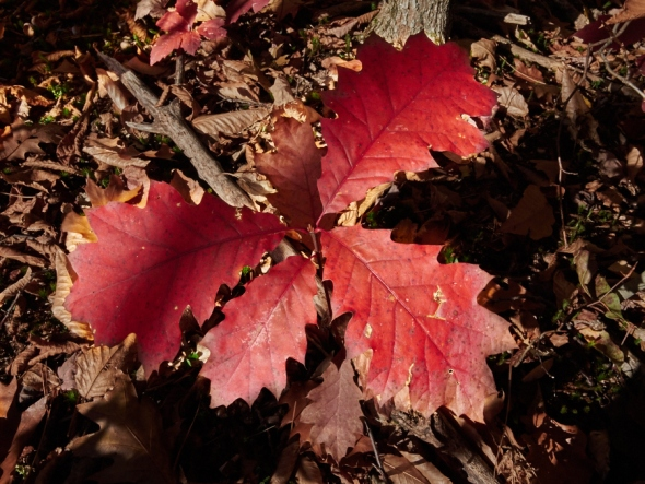 Red oak leaves hold there color close to the ground