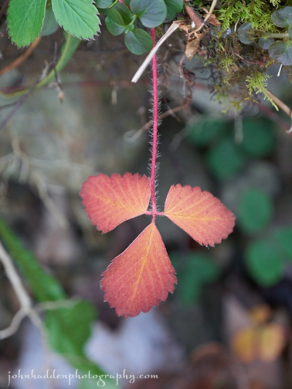 Strawberry leaves along Fargo Brook hold on to some color