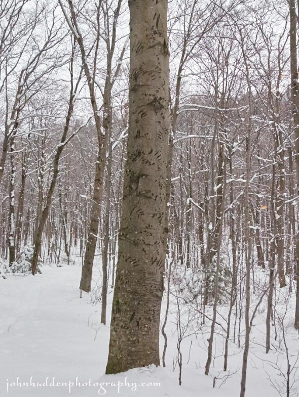 bear-tree