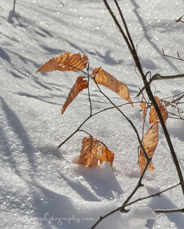 beech-leaves-snow