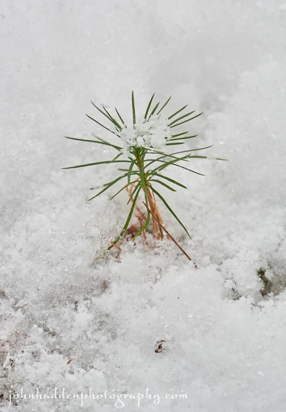 tiny-pine