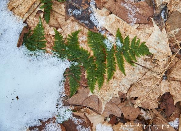 wood-fern-snow
