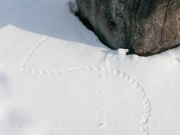 vole-tracks