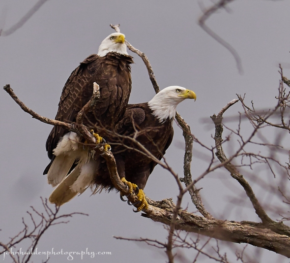 bald-eagles-2