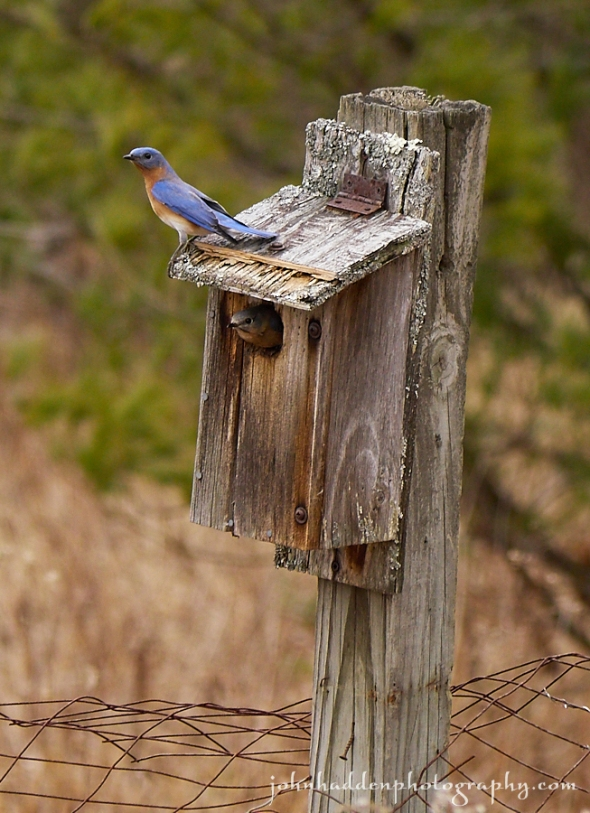 bluebird-pair-box-2