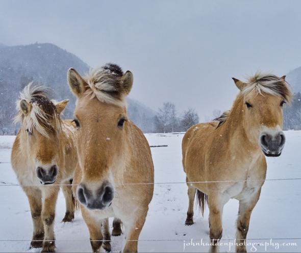 icelantic-horses