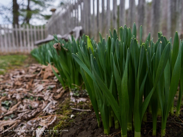 daffodils-waiting