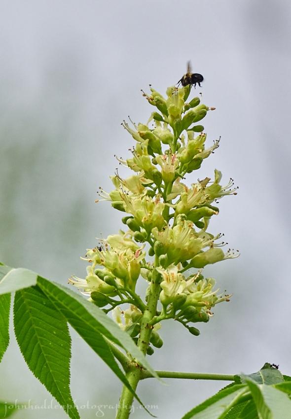 buckeye-bee