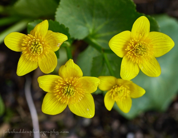march-marigold