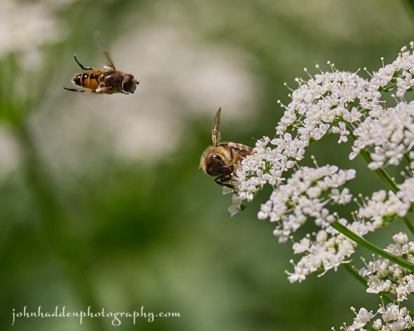 bee-fly-bishops-weed