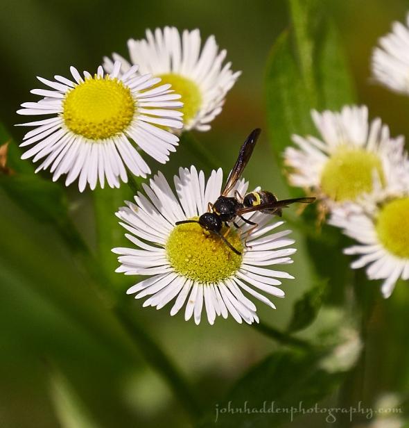 daisy-fleabane-wasp