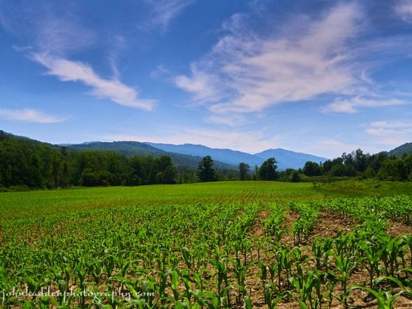 shaker-mtn-cornfield