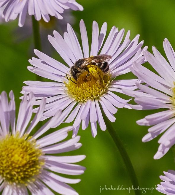 solitary-bee-fleabane