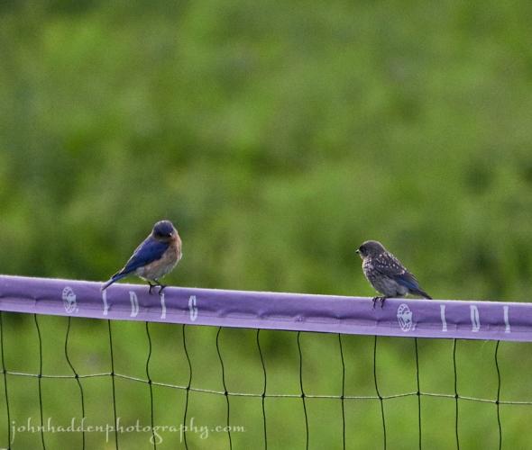 bluebird-fledgling