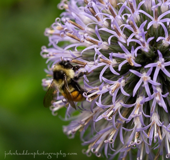 bumble-bee-globe-thistle