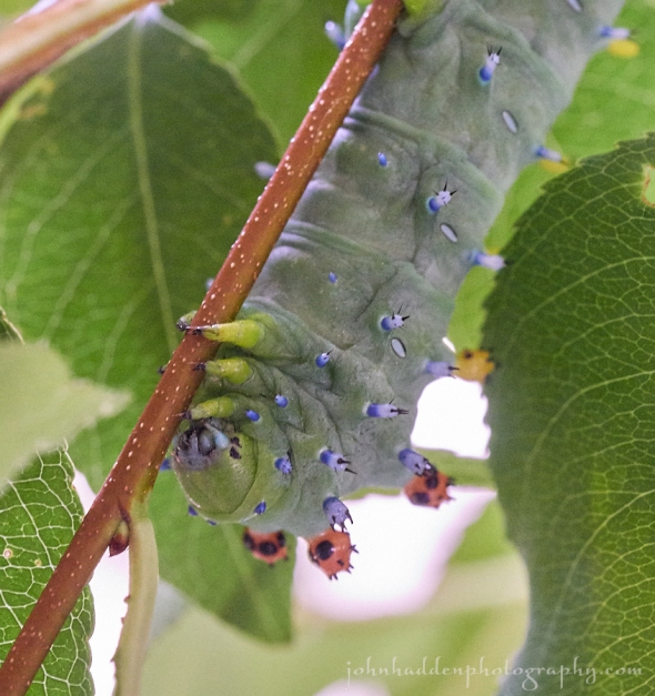 cecropia-moth-caterpillar