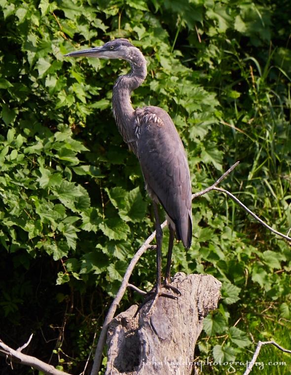great-blue-heron