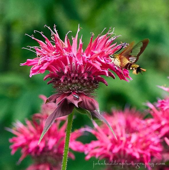 hummingbird-moth-beebalm