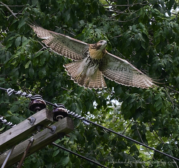red-tailed-juvenile
