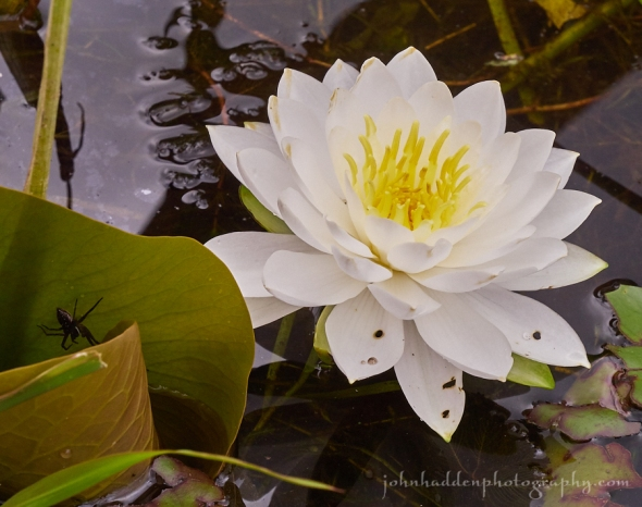 water-lily-fishing-spider