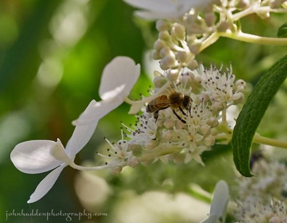 bee-hydrangea
