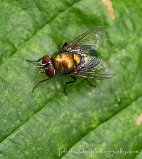 bottle-fly