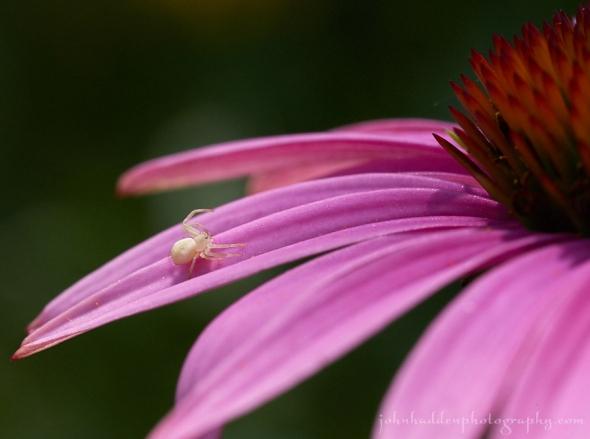 crab-spider-echinacea