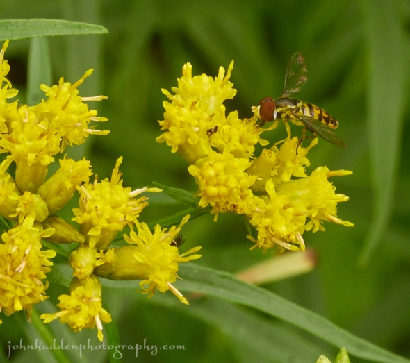 hoverfly-goldenrod