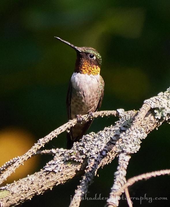 hummingbird-perched