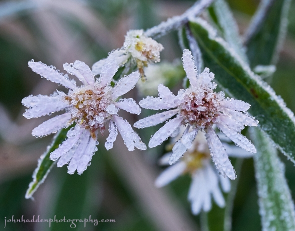 frosty-asters