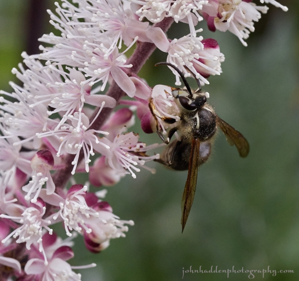 bald-faced-hornet-bug-bane