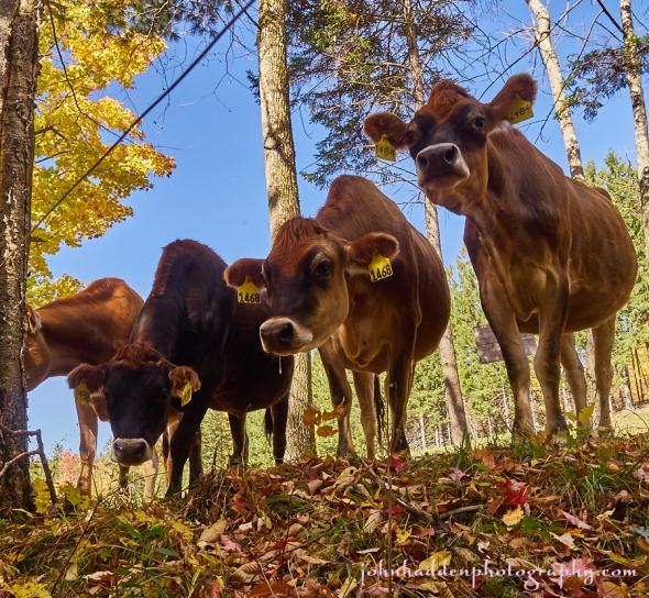 heifer-quartet