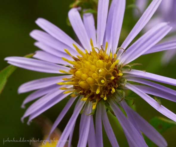 purple-stemmed-aster