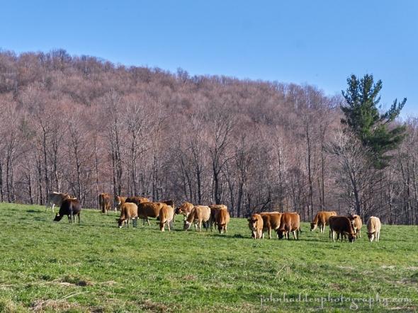 cows-sticks