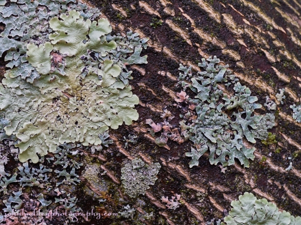 lichens-ash