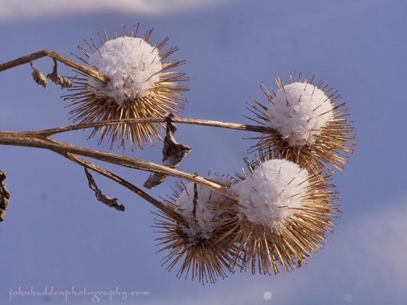 snow-tuft-burs