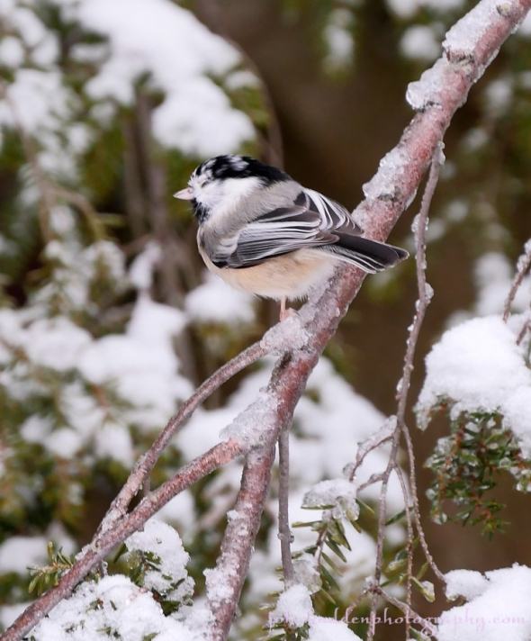 flecked-chickadee