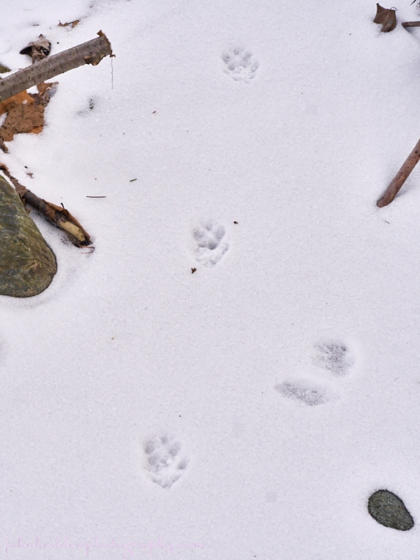 fox-tracks