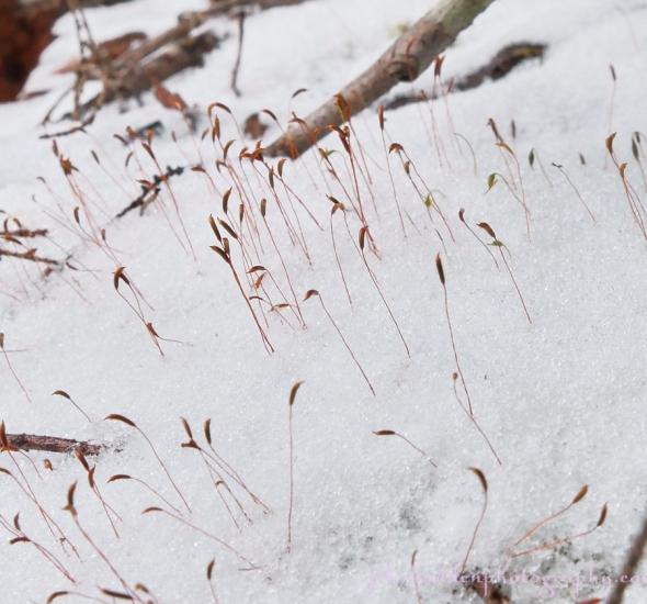 moss-capsules-snow