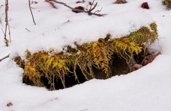moss-under-snow