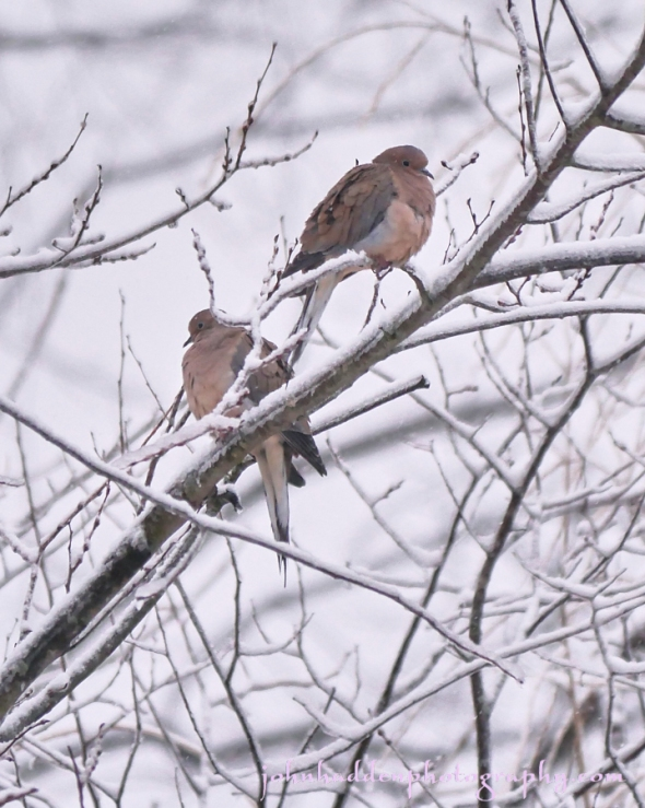 mourning-dove-pair