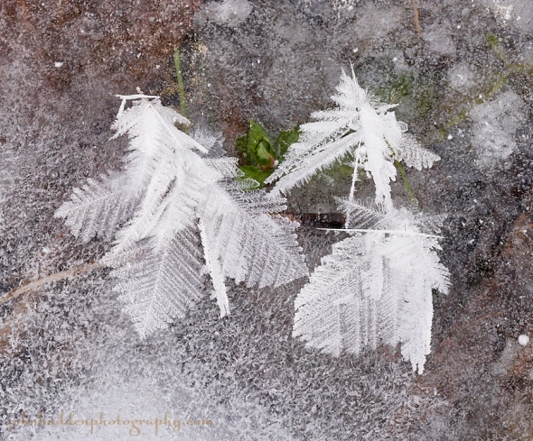 frost-feather-3