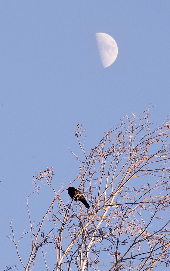 blackbird-moon