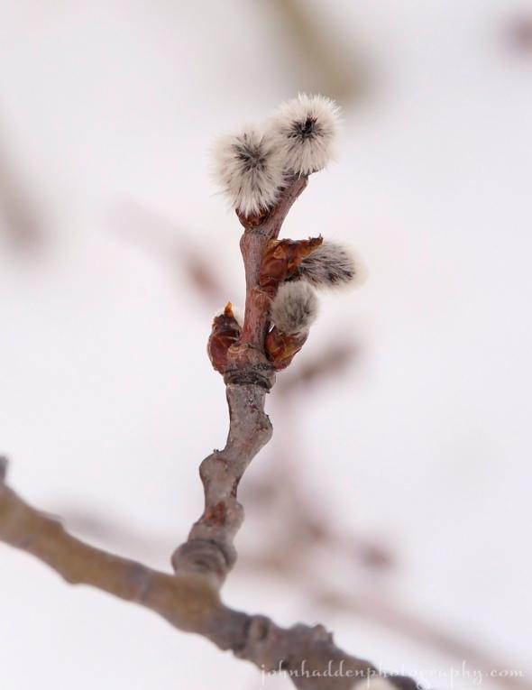 aspen-buds