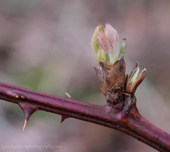 blackberry-leafing